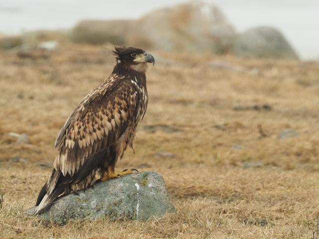 sea eagle on rock.JPG