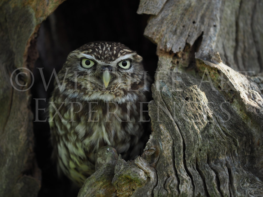 LITTLE+OWL.jpg