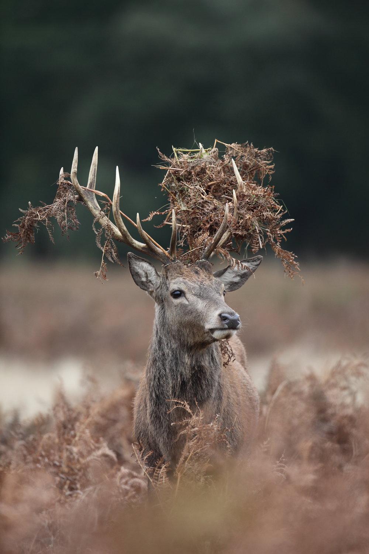 Deer - £125