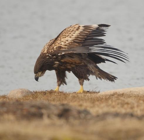 sea eagle2.JPG