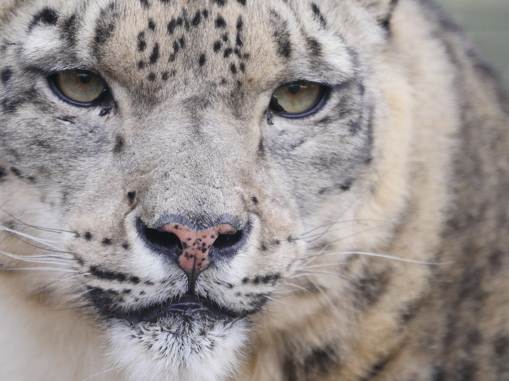 Snow Leopard_UK_Wildlife_PhilGould_009102017.JPG