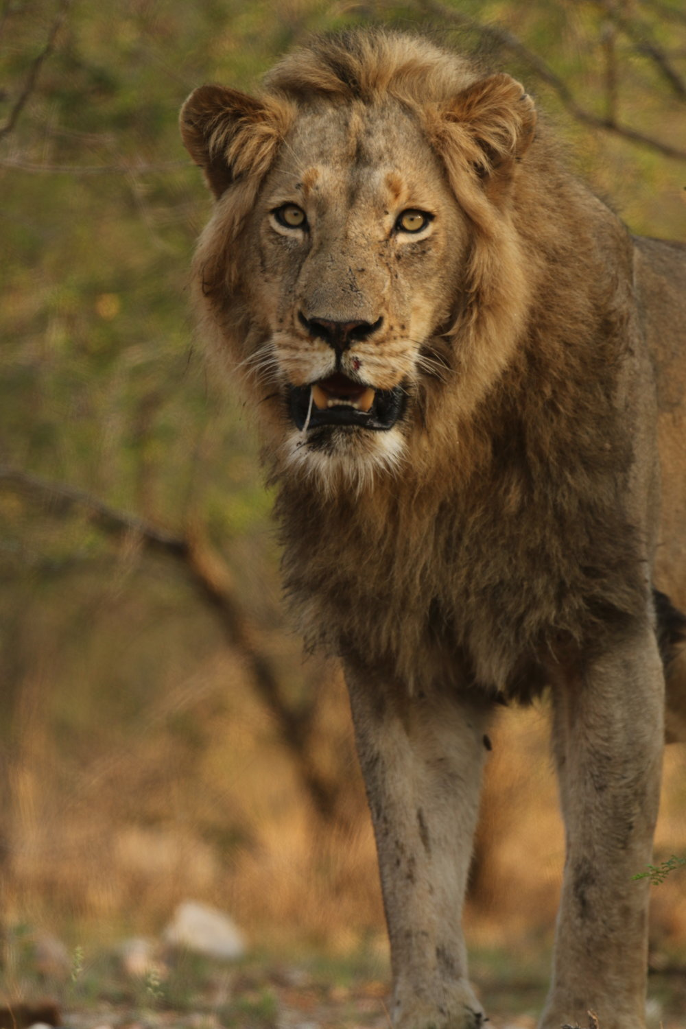 Standinglion_SAfrica_Wildlife_PhilGould_009102017.JPG