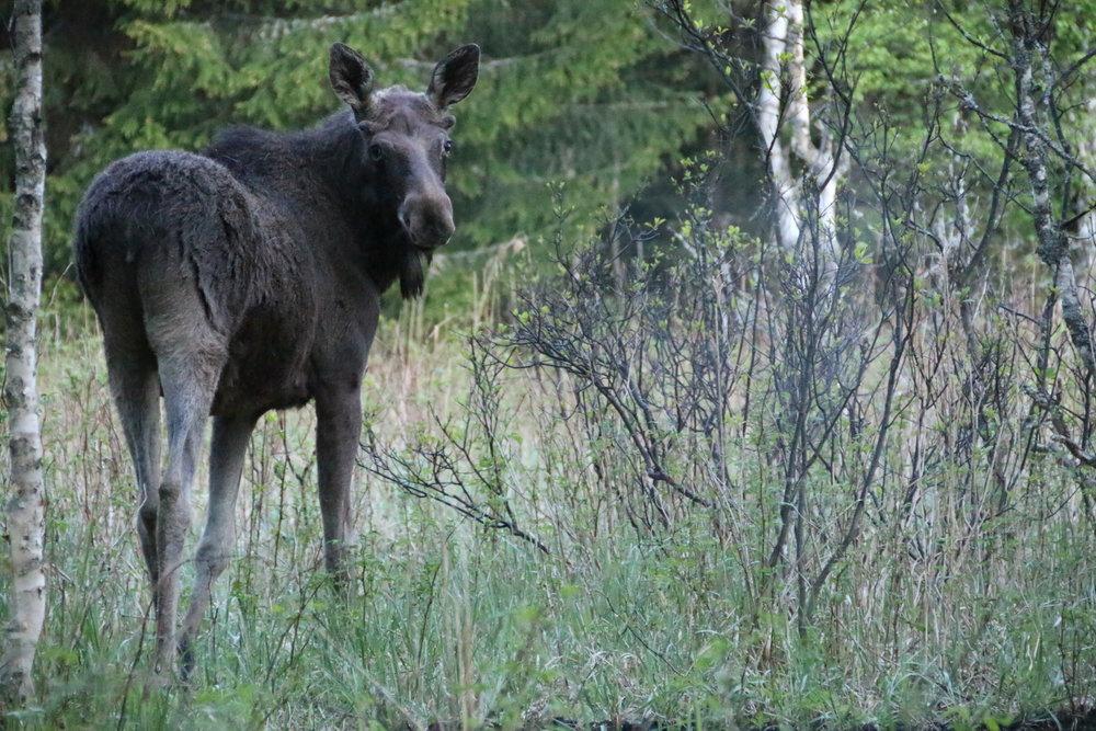 Estonia Elk Rut -