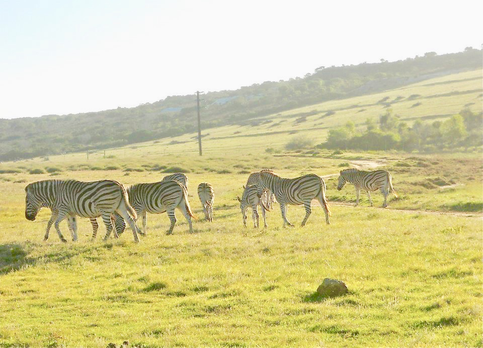 Zebras at Garden Route Game Lodge, June 2012