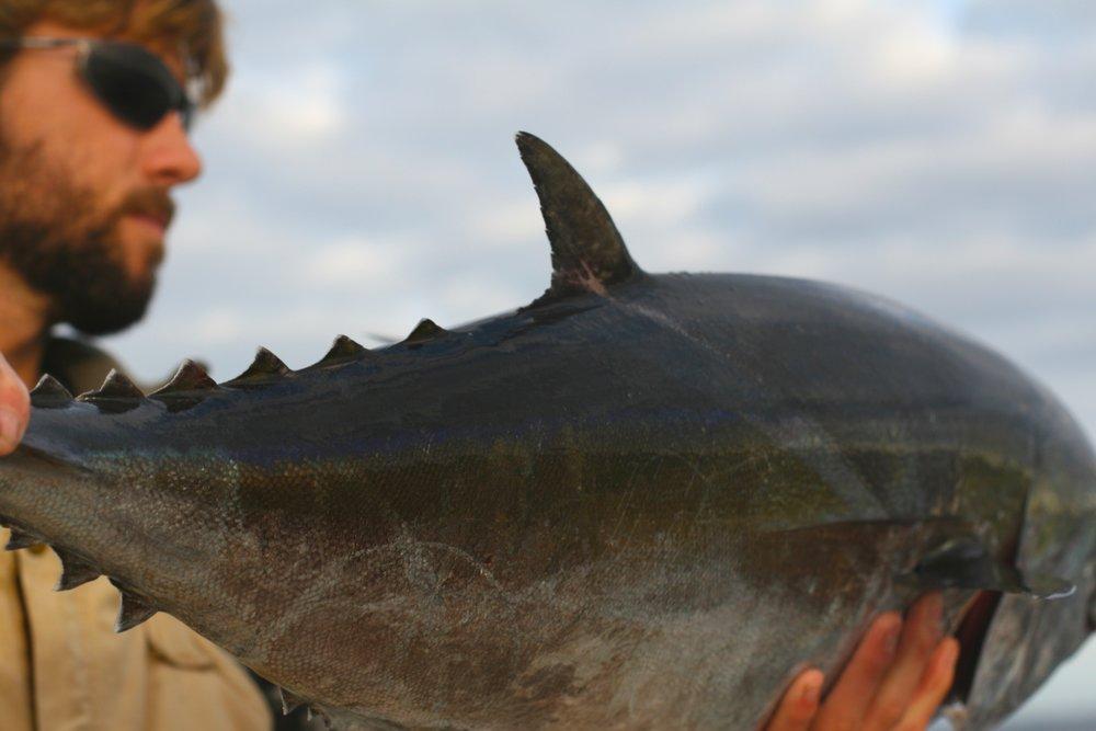 local nc blackfin tuna