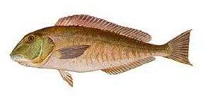 Blue Tilefish