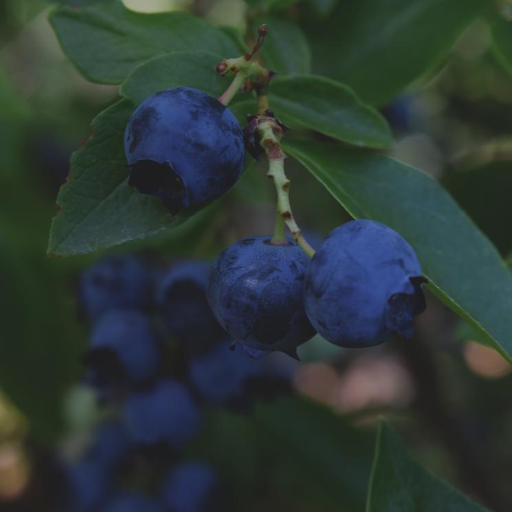 blueberry-691625_1920.jpg