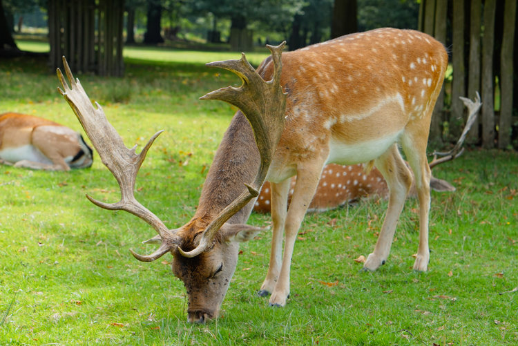 DEER AT DUNHAM MASSEY