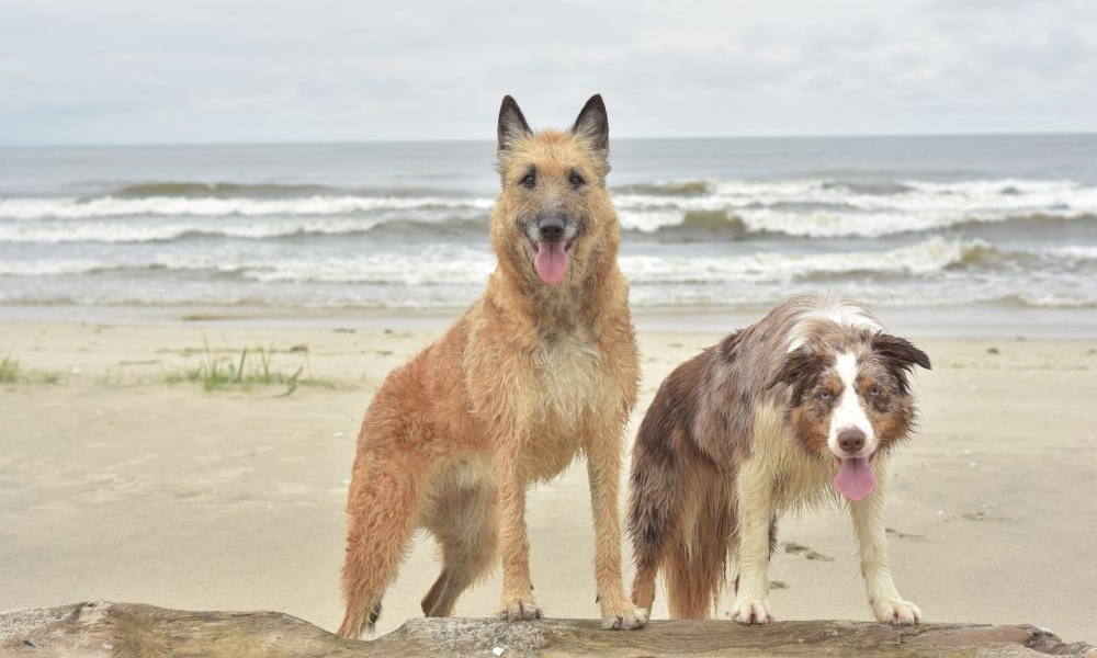 A clear difference between an always raised Belgian Shepherd and an always lowered Border Collie