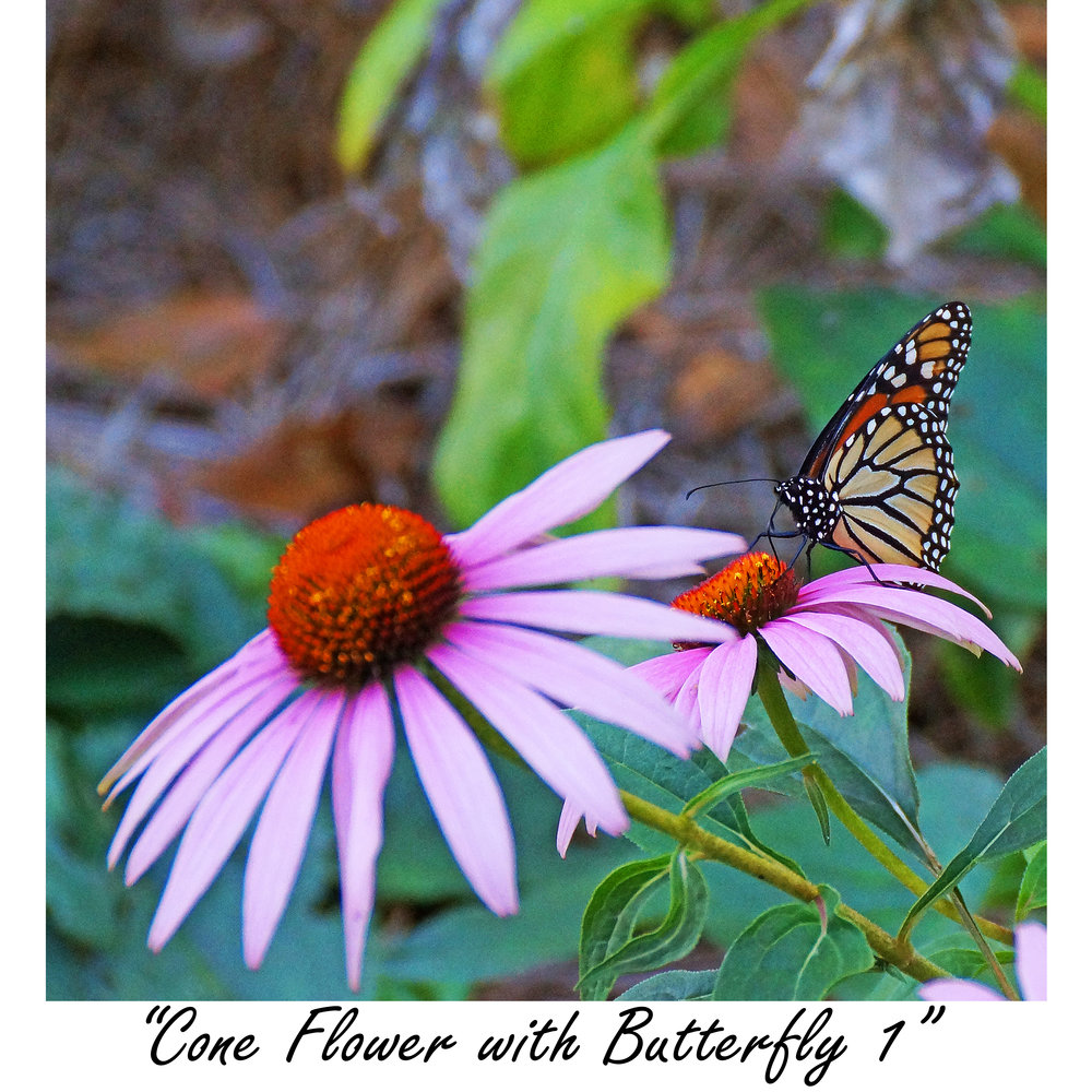 Cone Flower with butterfly 1.jpg