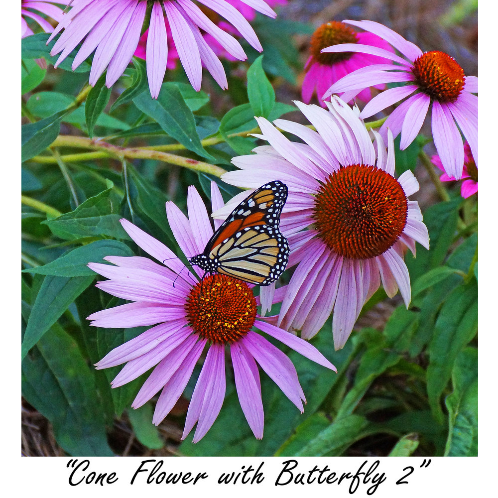 Cone Flower with butterfly 2.jpg