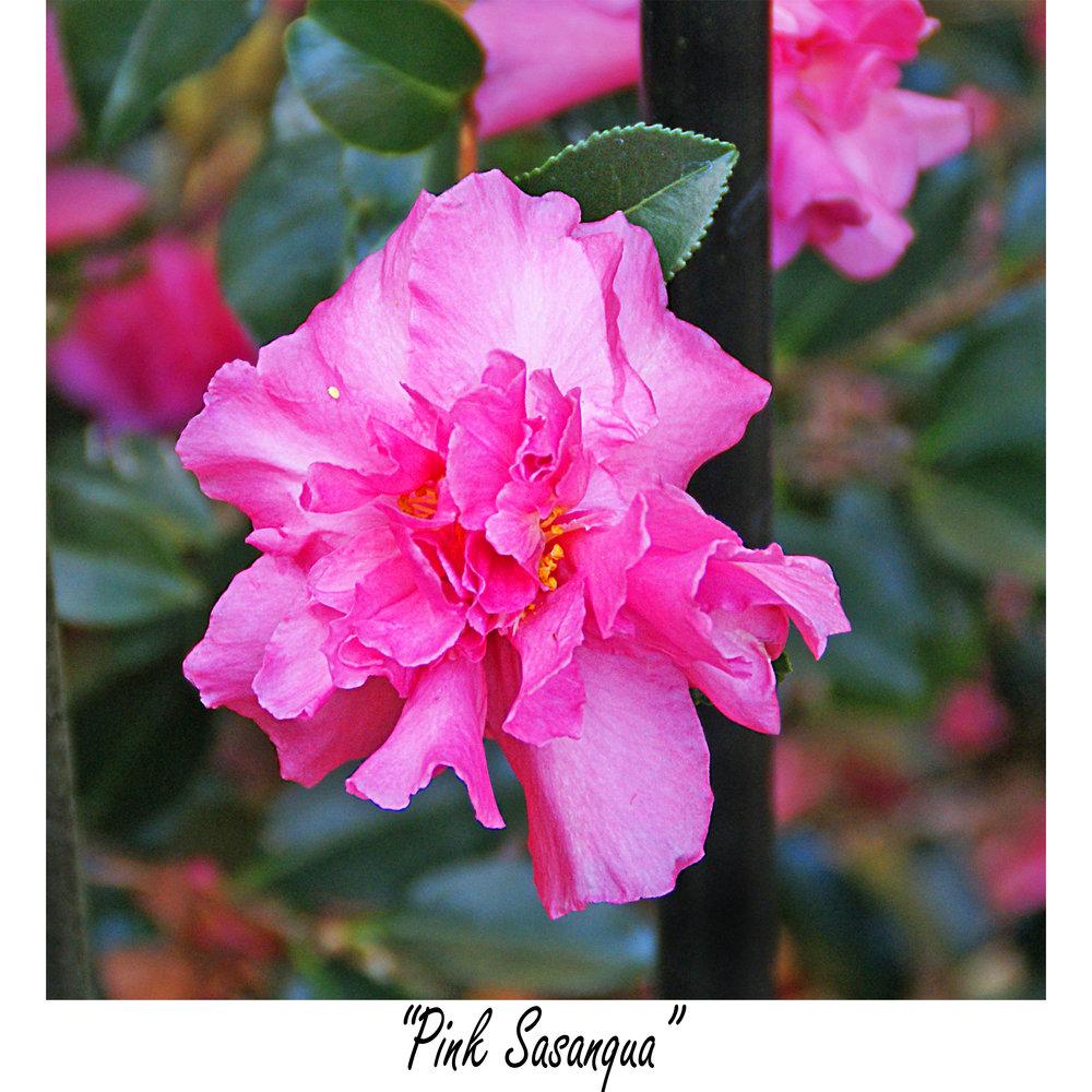Pink Sasanqua.jpg