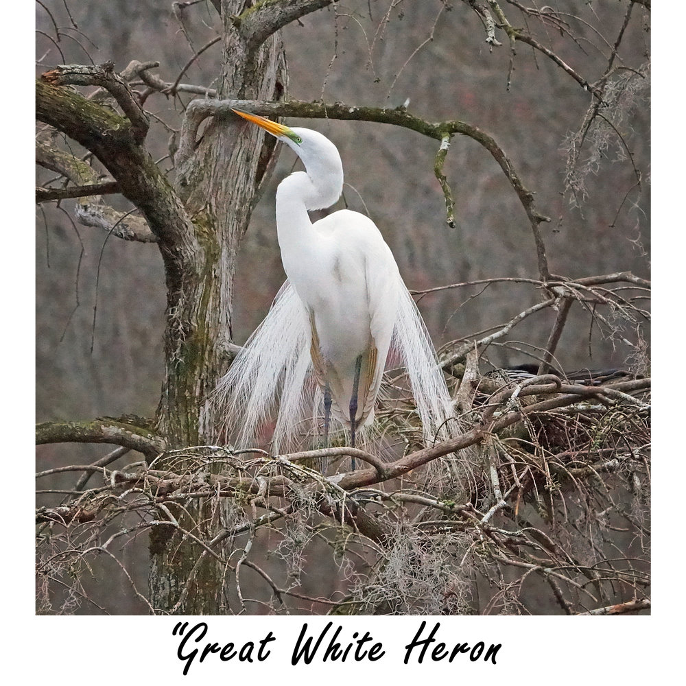 Great White Heron.jpg