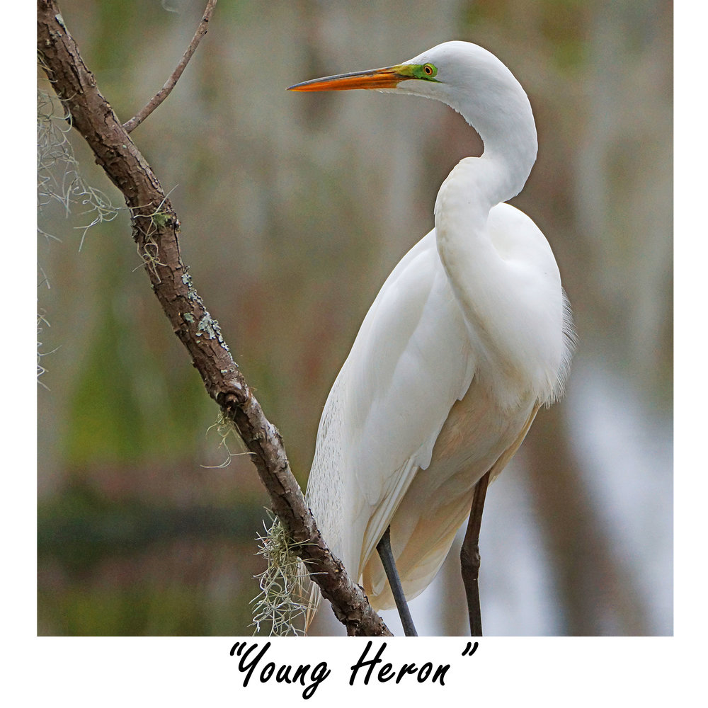 young Heron.jpg