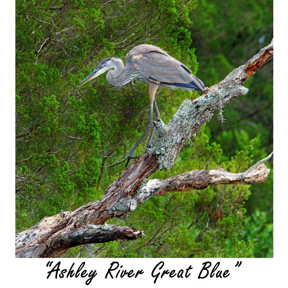 Ashley River Great Blue.jpg