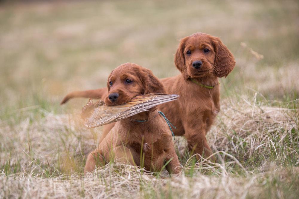 Hunting-dog-puppies-689554378_2125x1416.jpeg