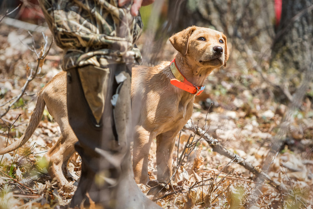 A young puppy looking to its handler for direction. Start to own the eyes at this young stage so your gundog looks to you for direction.