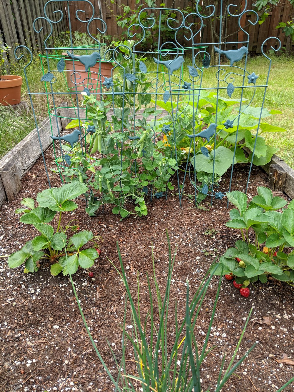 My raised bed - growing chives, strawberries, peas, and squash - is thriving in the rainy PNW. My pollinators are not doing so well.