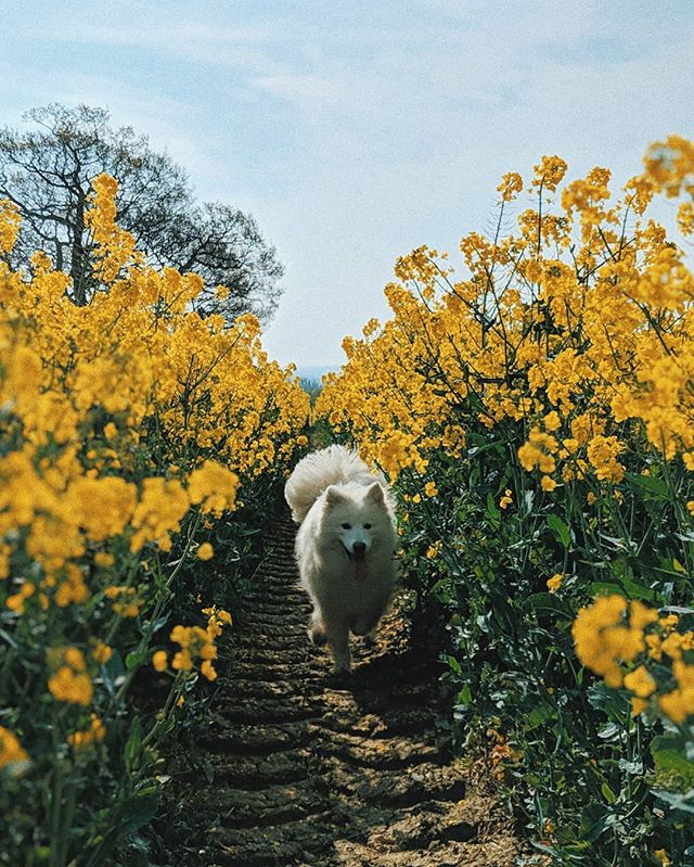 Had a lovely day with Coco today 👌  #samoyed #rapeseed #fieldsofgold #yellow💛 #springsummer2019 #samoyedsofinstagram