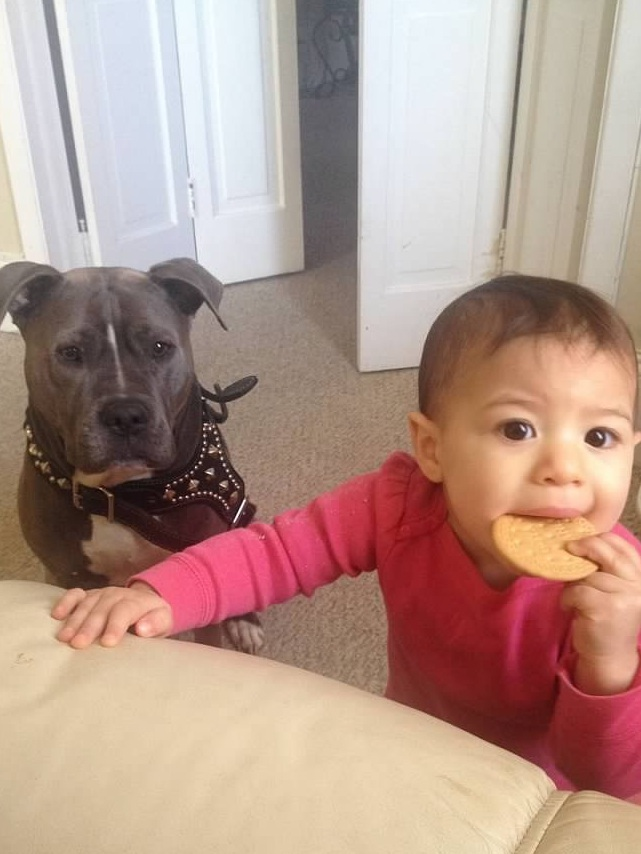 8 Facts About Pitbulls- Not Without My Coffee 4