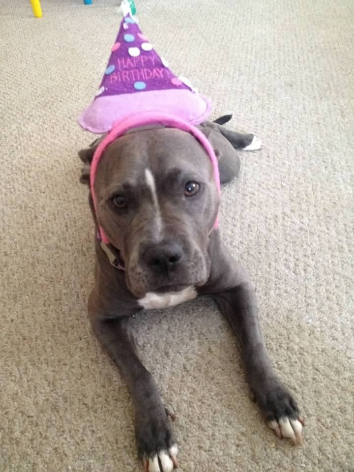8 Facts About Pitbulls- Not Without My Coffee 6