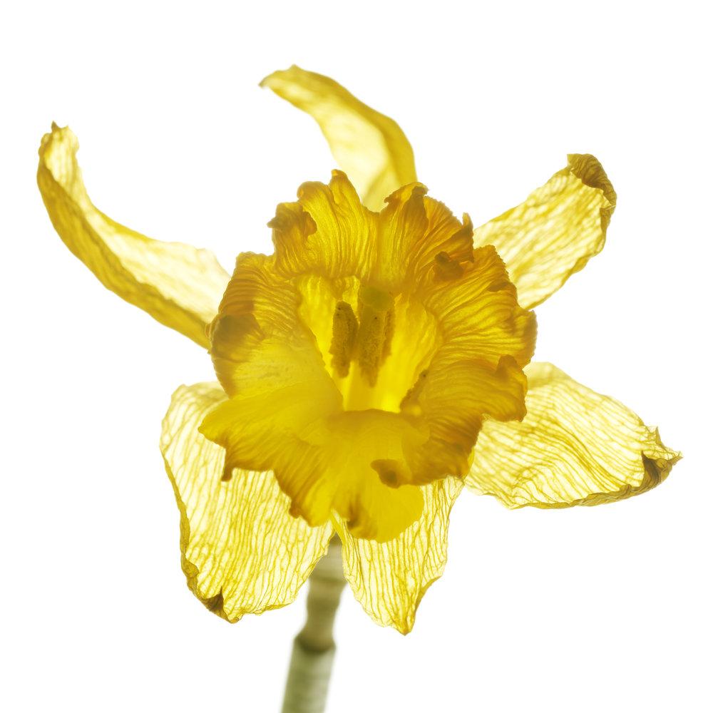 Daffodil #8
