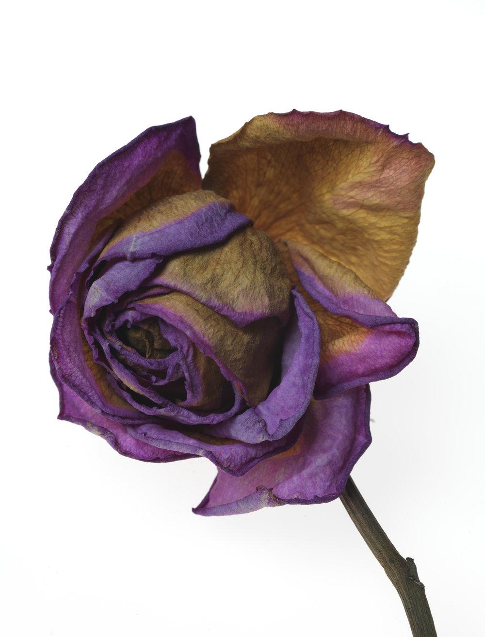 Rose #41