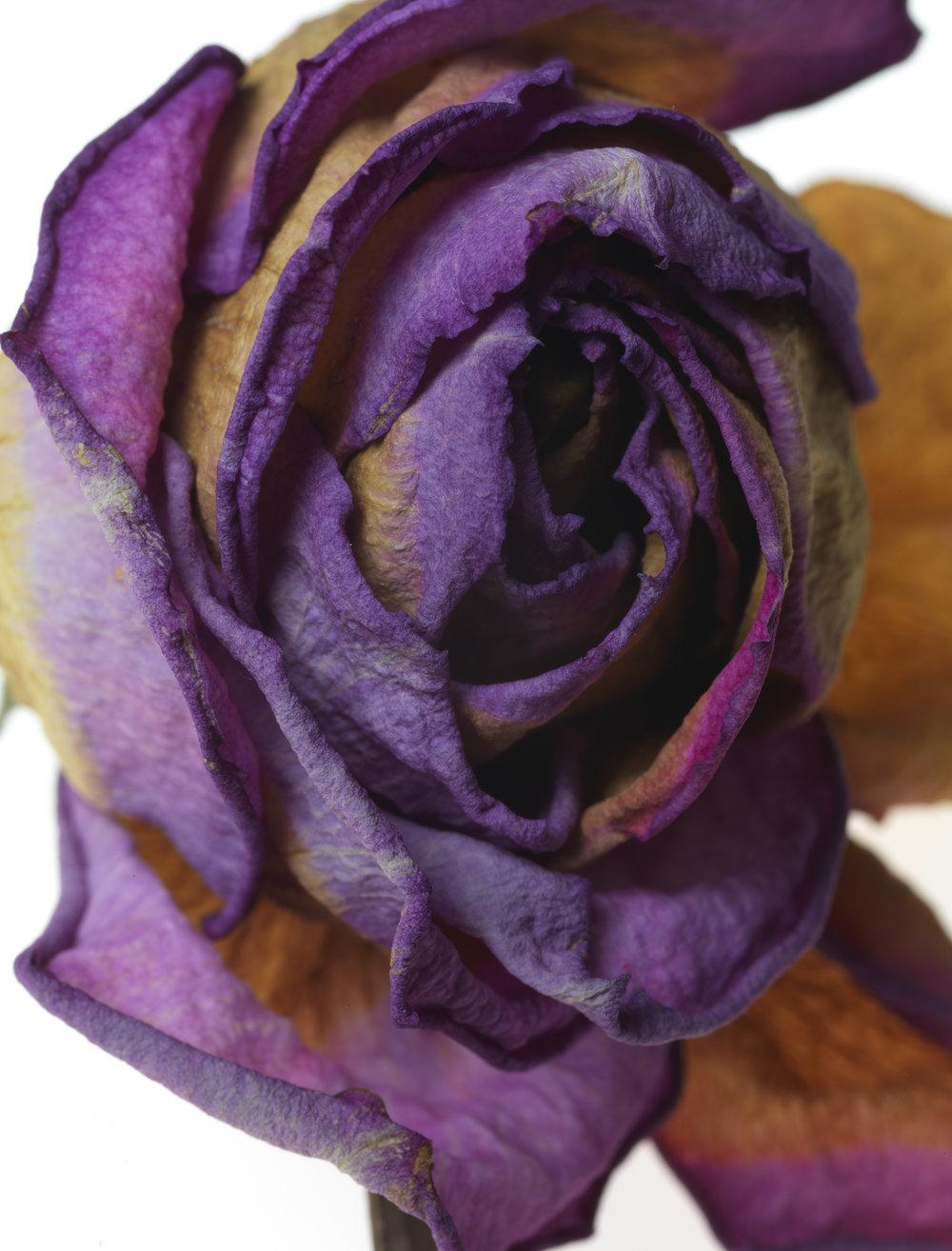 Rose #45