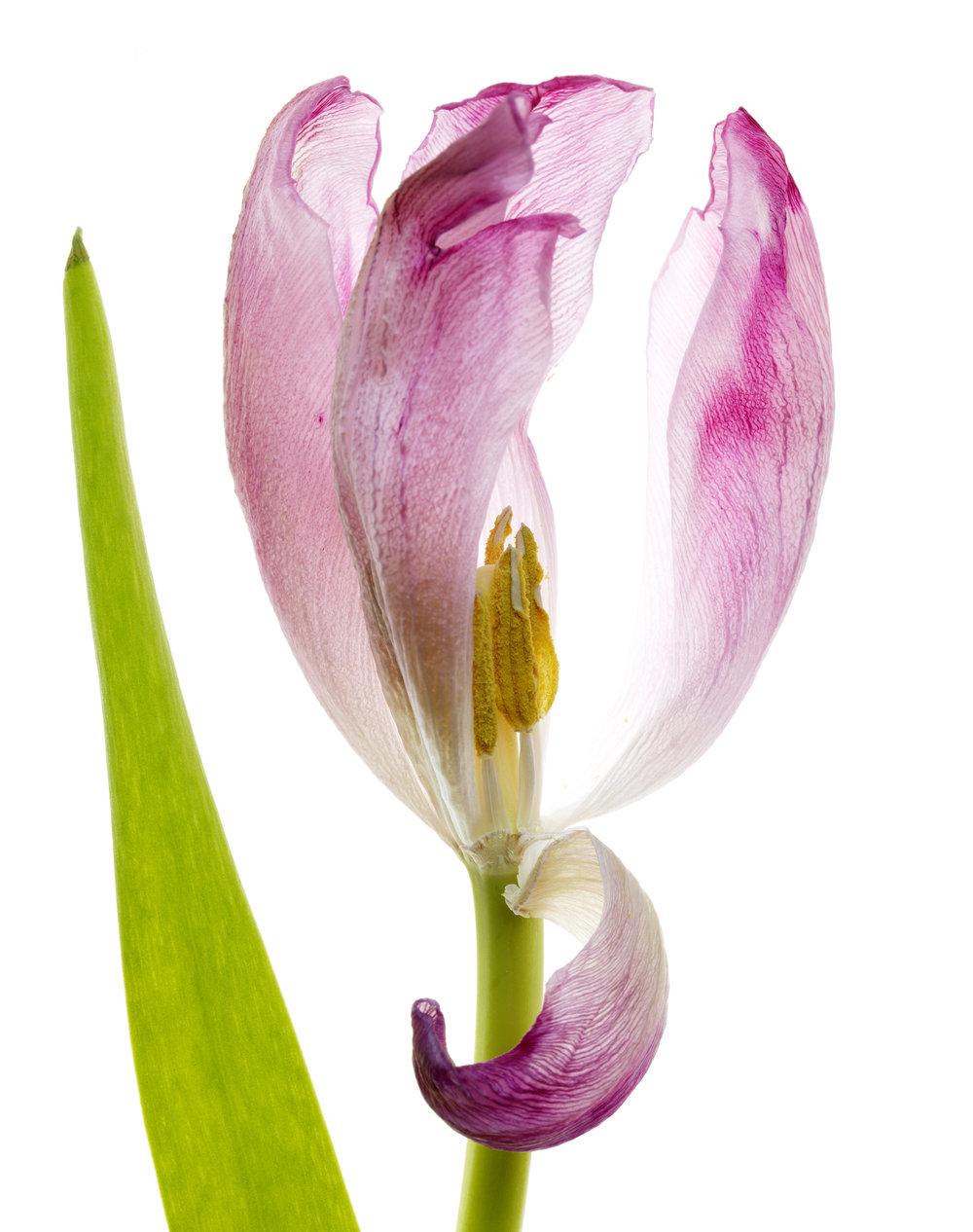 Tulip #81