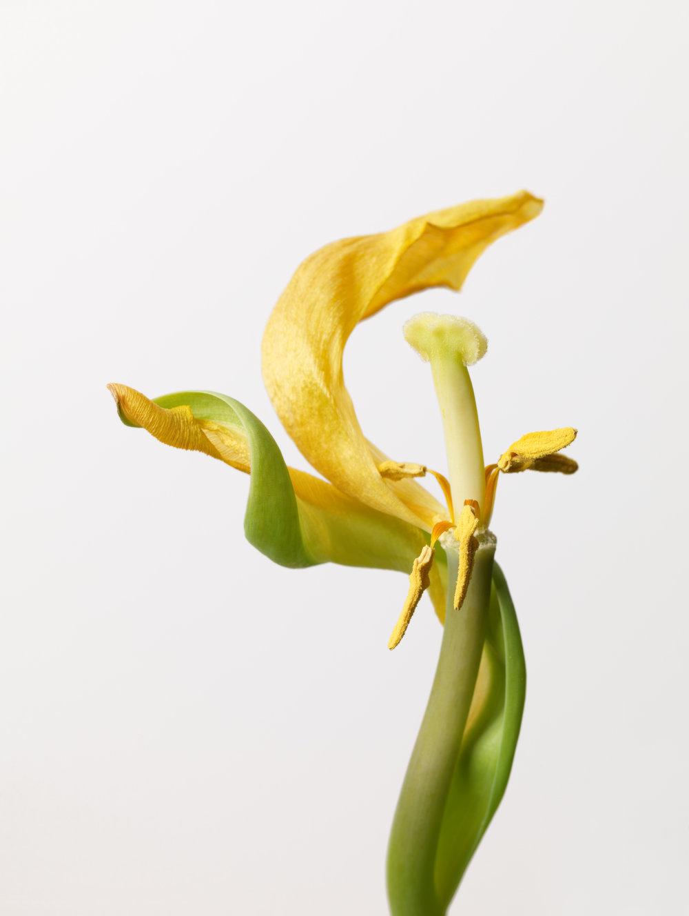 Yellow Tulip #9