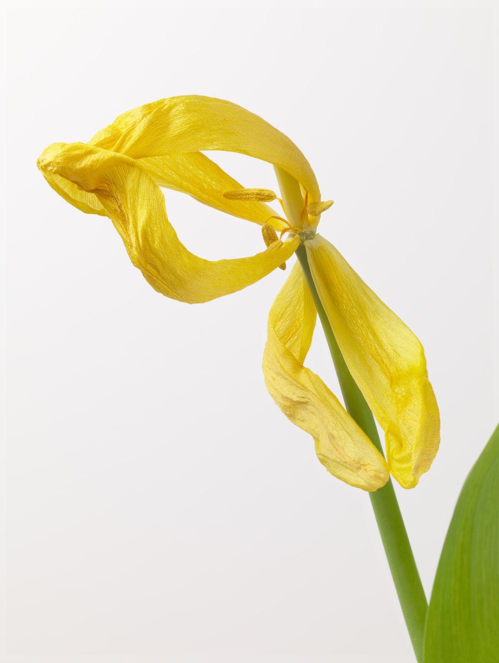 Yellow Tulip #34