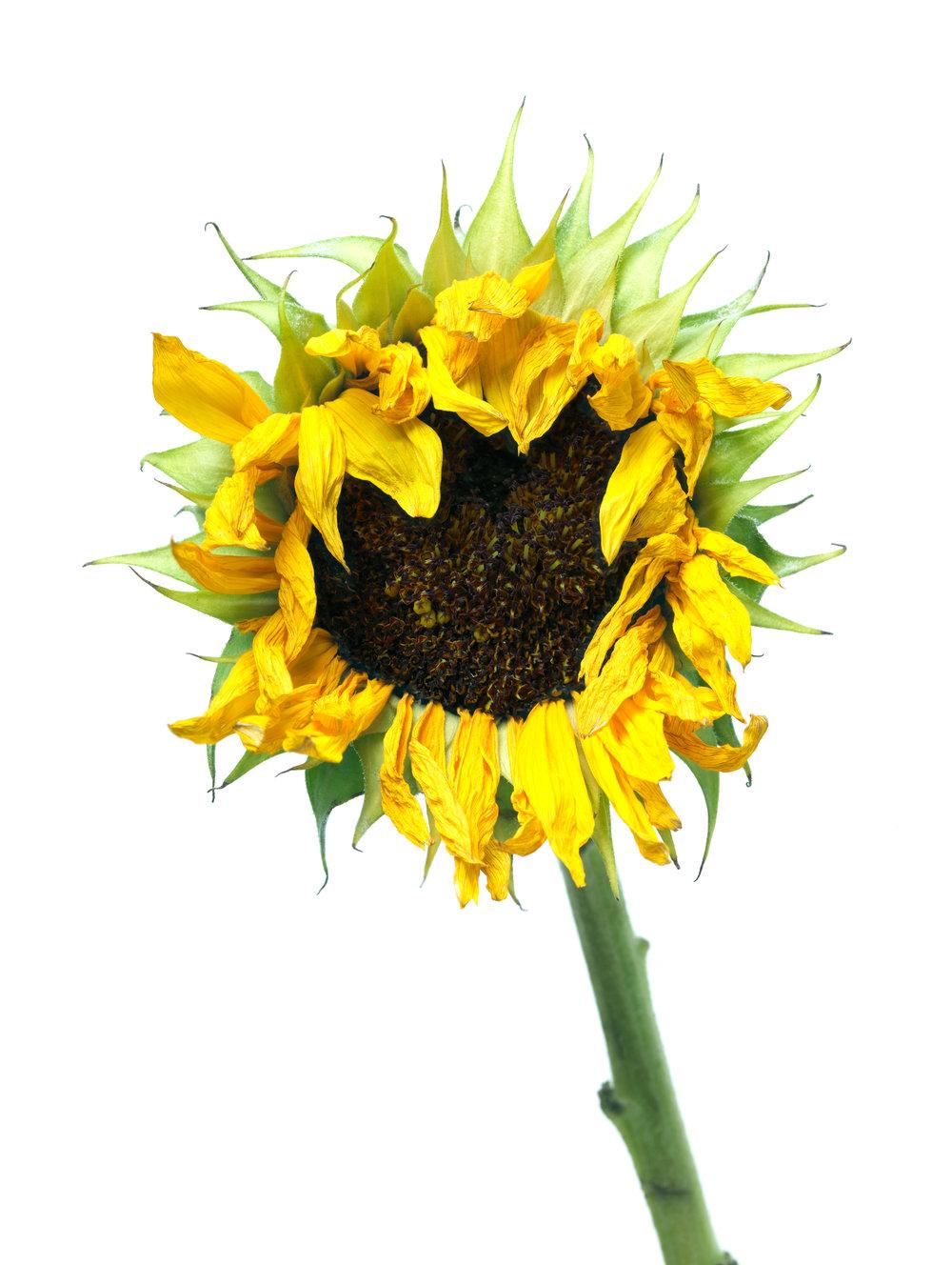 Sunflower #7