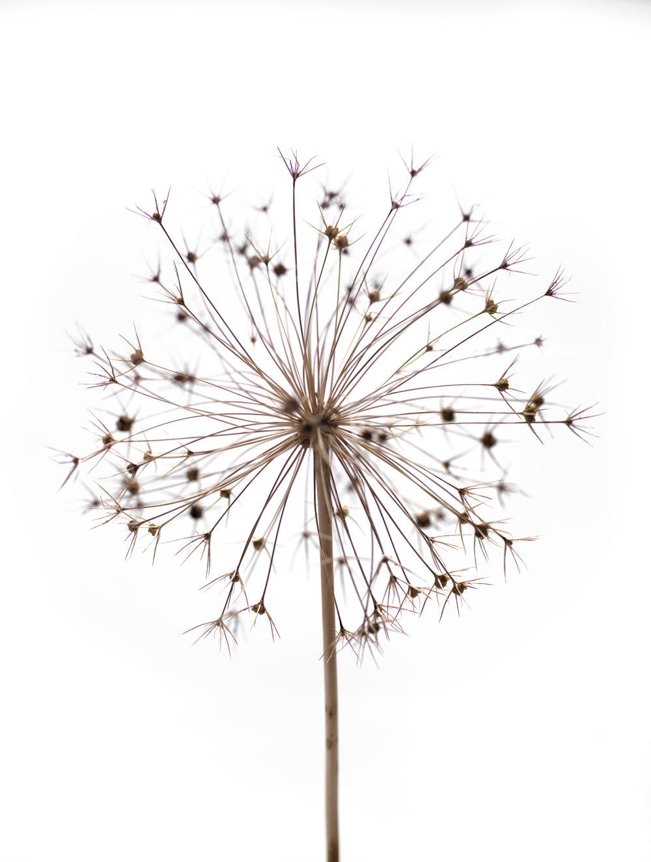 Allium #37