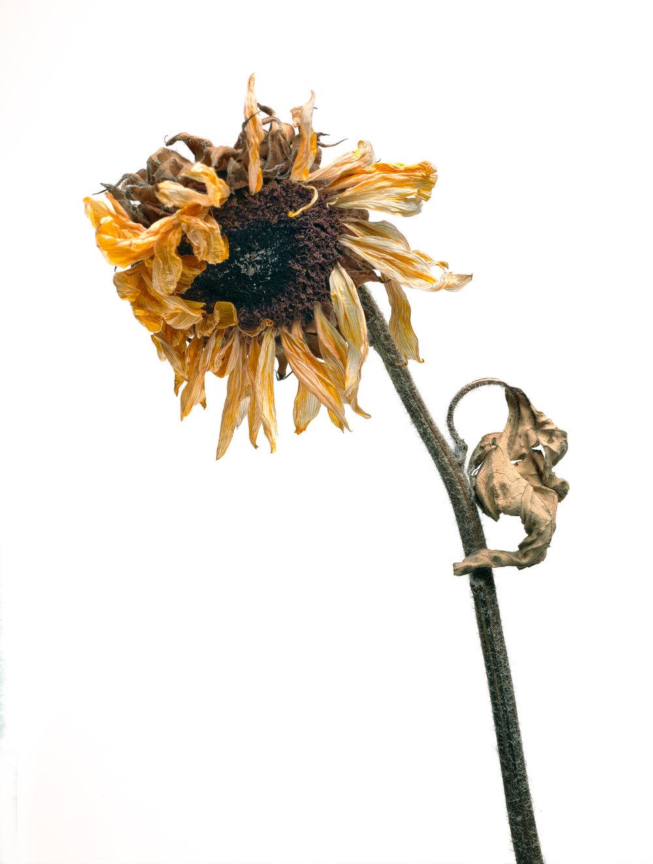 Sunflower #11