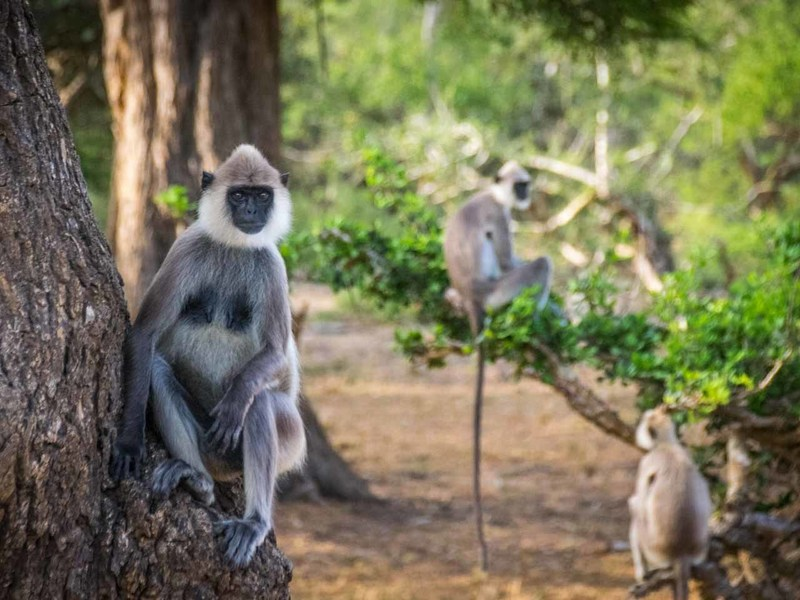 Yala-National-Park-Safari-Monkeys.jpg