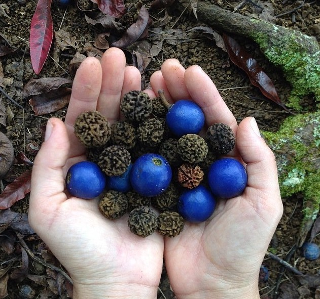 Rudraksha Fruit - Rudraksha Beads Titusville Yoga Loft at The Titusville Yoga Loft Downtown Titusville Yoga Studio, Yoga For Beginners, Hatha Yoga, Vinyasa Yoga, Ashtanga Yoga, Yin Yoga, Kids Yoga, Meditation, Barre, Titusville Yoga.jpg
