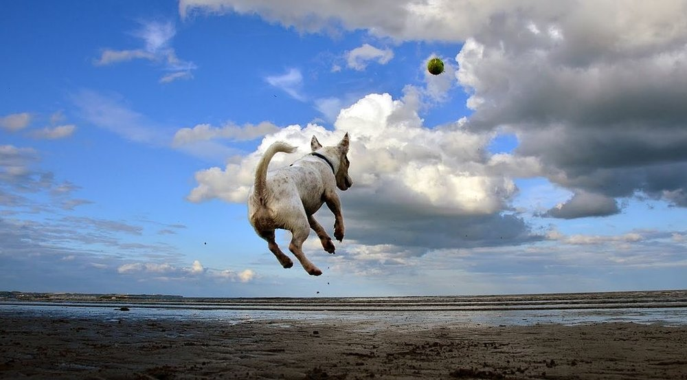 1024px-Jack_Russell_Terrier_flying_after_a_ball.jpg