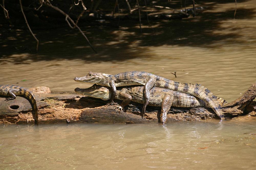 Caimans-at-Caño-Negro.jpg