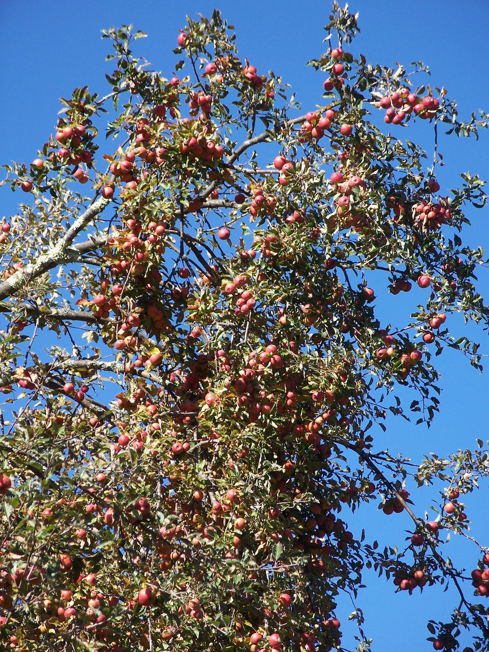 S2 Apple tree loaded along ALT near Glady.jpg