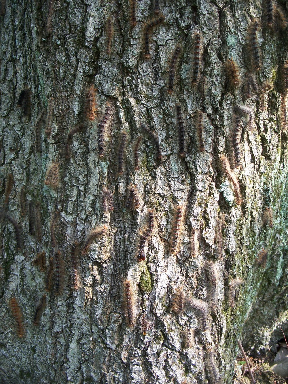 S4 Gypsy moth caterpillars.jpg