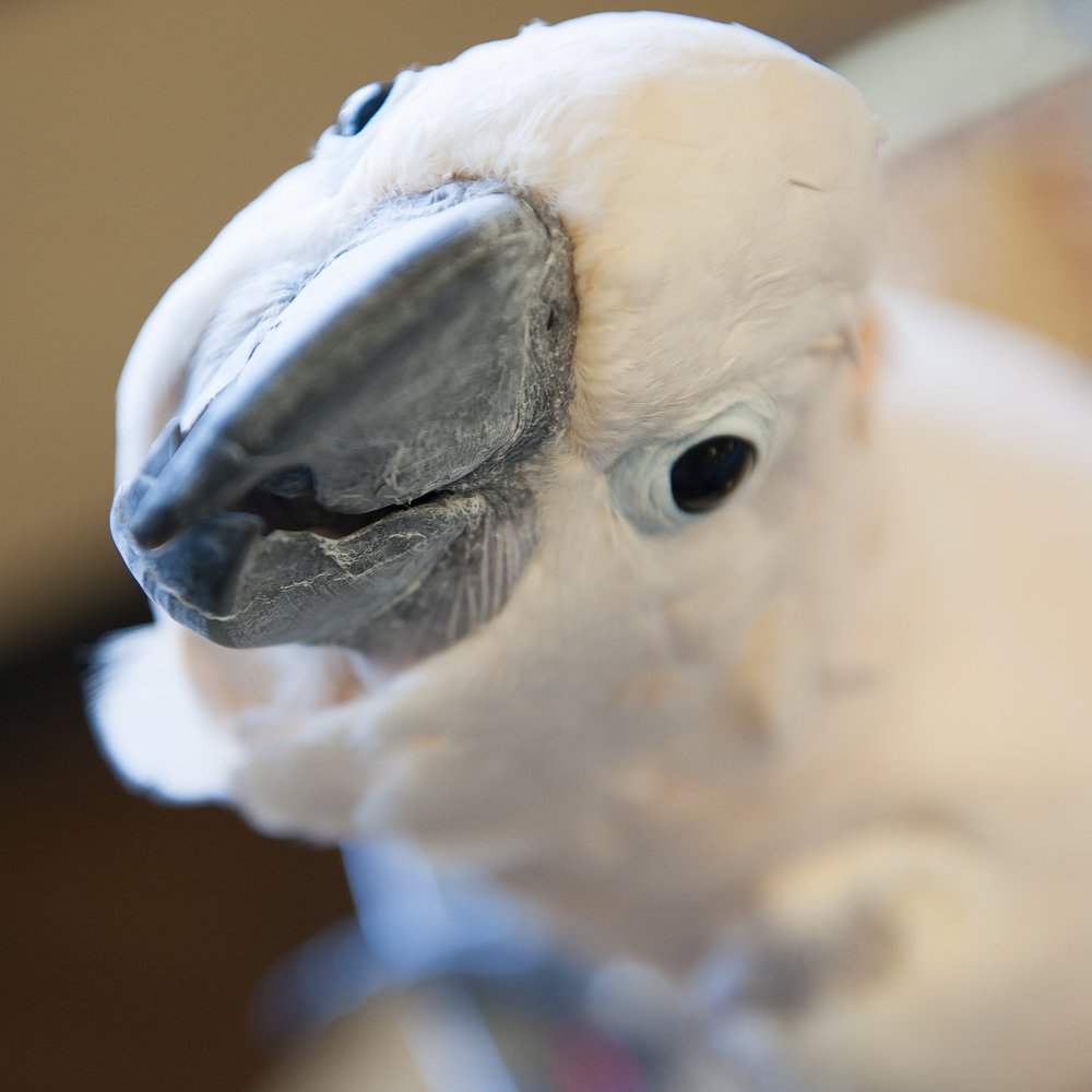 Cuddles Cockatoo Bio