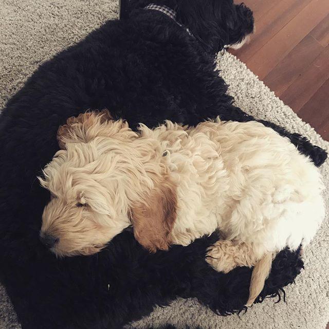 Wish I was small enough to have a doggo as a cushion 😴🐶❤️ . . . #sleepy #puppysleeping #doggo #dogsofinstagram #cockapoolove #cockapoo #hygge #lazyday #puppy #dogoftheday #cutepuppies