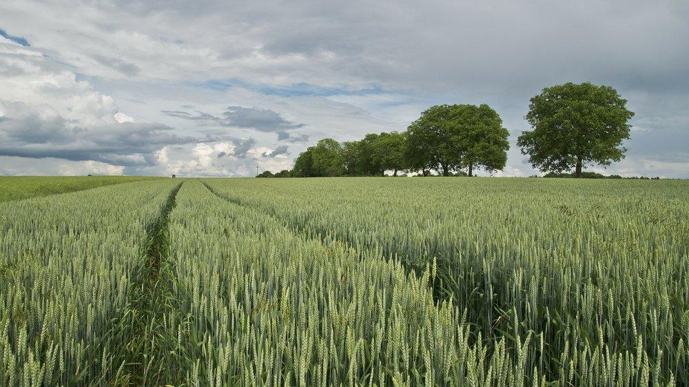 wheat-175960_1920.jpg