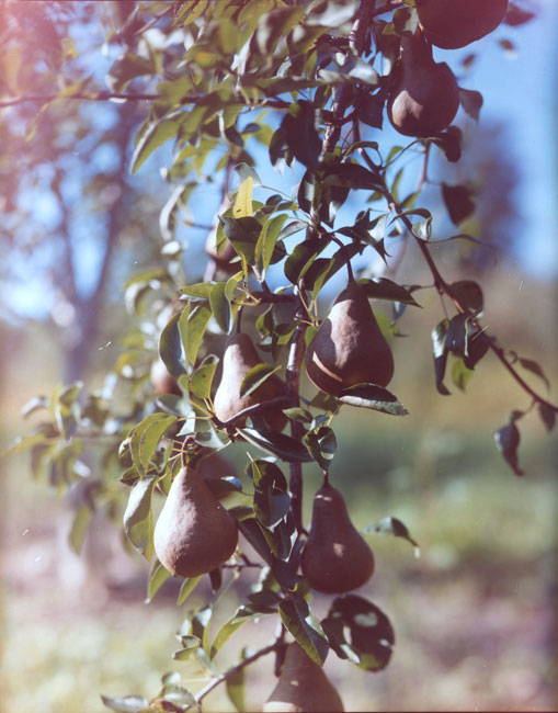 03.Pears-Oregon.jpg