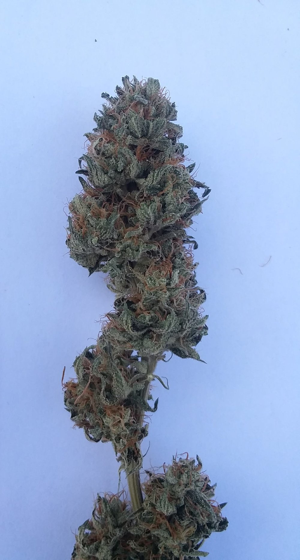 Strawberry Cough - Lineage: Strawberry Fields x Haze Location: Indoor/OutdoorType: Indica DominateFlowering time: 8-9 weeks – 60 daysDescription: bred for the sweet flavor of strawberries and calm euphoric feeling. A personal favorite  Medical Value: Great day smoke, good for Anxiety, PTSD, Depression