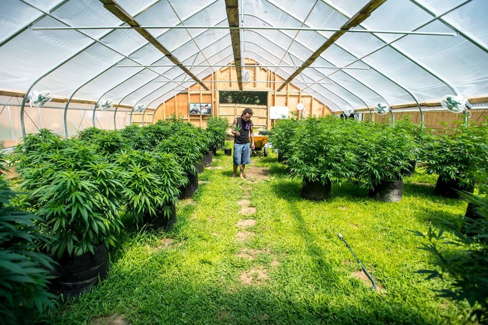 Farm Life - Mat has had a passion for farming since he was a kid. Craft cannabis is what he is known for. We love to work with farmers who have a passion for organic cannabis. If you would  like more information on this farm and his genetics, please send us an email.