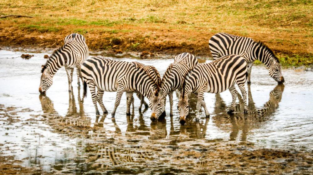 Tarangire-Zebras.jpg