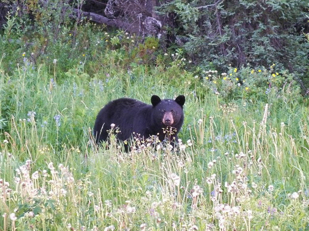 While out in the bush, Ronnie has encountered grizzly bears and black bears, sometimes in groups (Ronnie Young, 2017).