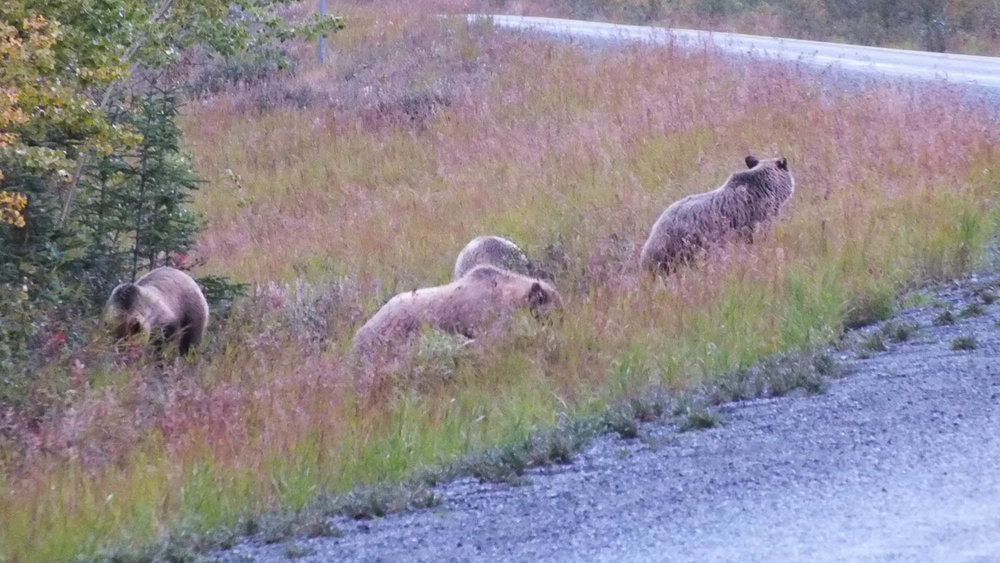 These bears were spotted by the side of a road (Ronnie Young, 2016).