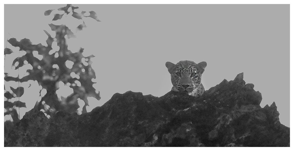 Indian Leopard in Bandhavgarh National Park.